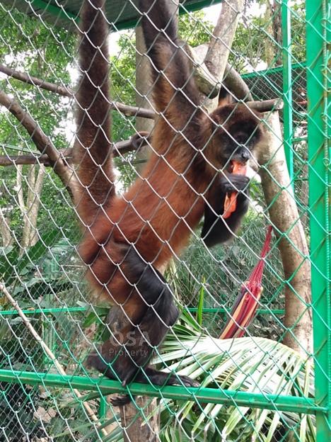 spider monkey alturas wildlife dominical